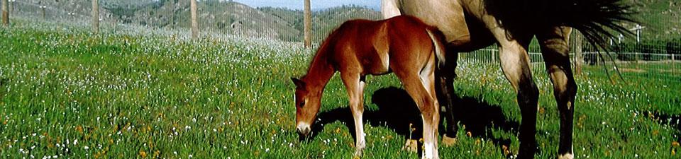 foal-in-pasture.jpg